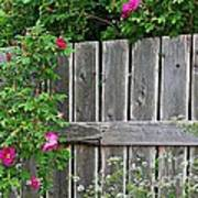 Wild Roses And Weathered Fence Art Print