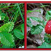 Wild Strawberry Plant - Fragaria Virginiana Art Print