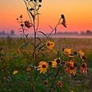 Wild Sunflowers At Dawn Art Print