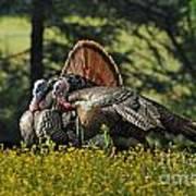 Wild Turkey 2 Art Print