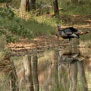 Wild Turkey Crossing Art Print