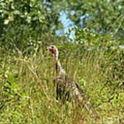 Wild Turkey In The Sun Art Print