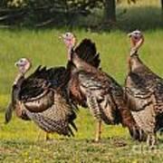 Wild Turkey Trio Art Print