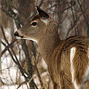 Wild White-tailed Deer Art Print