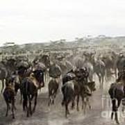 Wildebeest Migration  Art Print