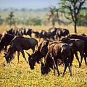 Wildebeests Herd. Gnu On African Savanna Art Print