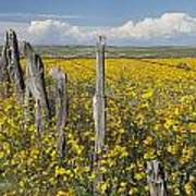 Wildflowers Surround Rustic Barb Wire Art Print