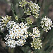 Wildflowers - White Yarrow Art Print