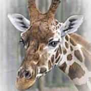 Wildlife Giraffe  Art Print