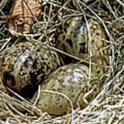 Willet Catoptrophorus Semipalmatus Eggs Art Print