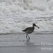 Willet With A Catch Art Print