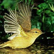 Willow Warbler Phylloscopus Trochilus Art Print