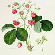 Wilmot's Cocks Comb Scarlet Strawberry Print by William Hooker
