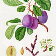 Wilmot's Early Violet Plum Art Print by William Hooker