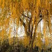 Willow Yellow Rain  Art Print