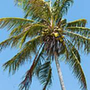 Windblown Coconut Palm Art Print