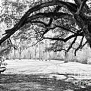 Window Oak - Bw Art Print