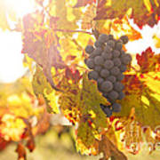 Wine Grapes In The Sun Art Print