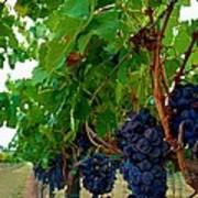 Wine Grapes On The Vine Art Print