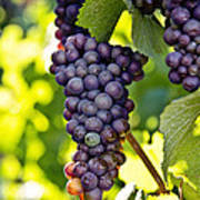 Wine Grapes Art Print