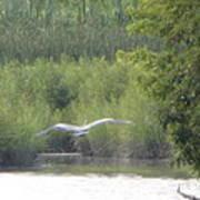 Wings Wide Open Great Blue Heron Mighty Sight Art Print