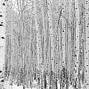 Winter Aspen Art Print