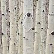Winter Aspen Tree Forest Portrait Art Print