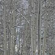 Winter Aspens Art Print