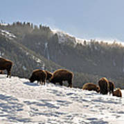 Winter Bison Herd In Yellowstone Art Print