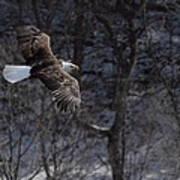 Winter Eagle Flight Art Print