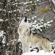 Winter Howl Art Print