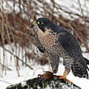 Winter Hunt Peregrine Falcon In The Snow Art Print
