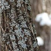 Winter Lichen Art Print by Elizabeth Sullivan