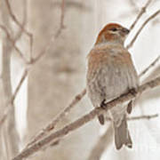 Winter Pine Grosbeak Art Print