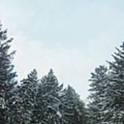 Winter Pines Art Print