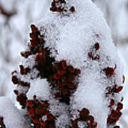 Winter Sumac Art Print