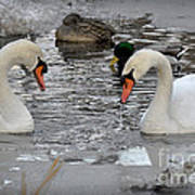 Winter Swans  Art Print
