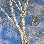 Winter Sycamore Art Print