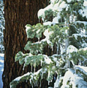 Winter Tree Sierra Nevada Mts Ca Usa Art Print