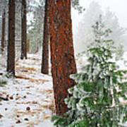 Winter Woodland Pine Tree Art Print