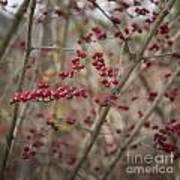 Winterberries Squared Art Print
