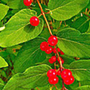 Winterberry Along Rivier Du Nord Trail In The Laurentians-qc Art Print