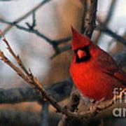 Northern Cardinal Red Beauty  Art Print