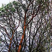 Winters Trees  Art Print