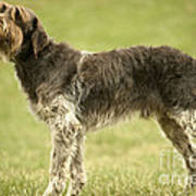 Wirehaired Pointing Griffon Art Print