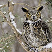 Wise Old Great Horned Owl Art Print