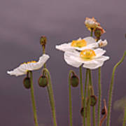 Wispy White Floral Art Print