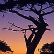Witch Tree Monterey California Art Print