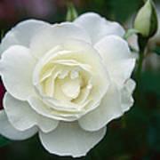 Withe Rose Art Print
