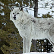 Wolf - Curiousity Art Print